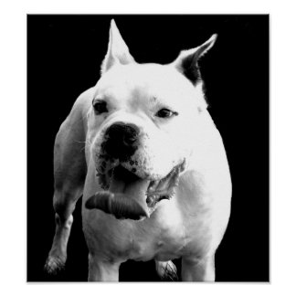 Handsome White Boxer Poster