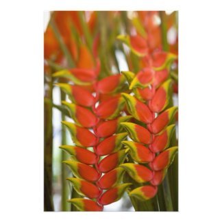 Hanging Heliconia, Weekly Tuesday fruit & Photographic Print