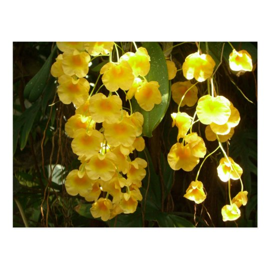 Hanging Yellow Orchids Tropical Flowers Postcard