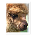 Hannah Alpaca Postcards