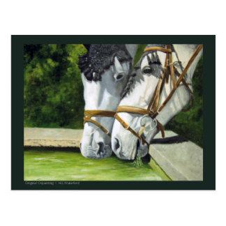 Hanoverian Horses Postcard