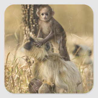 Hanuman Langur adult with young Square Sticker