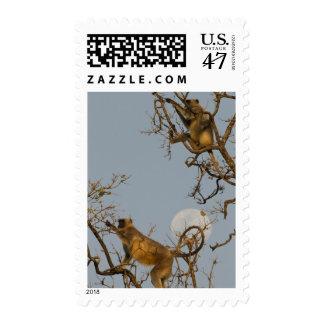 Hanuman Langur climbing in tree Stamp