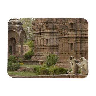 Hanuman Langurs or Black-faced, Common or Grey Magnet