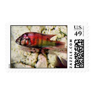 Haplochromis sp.34 postage