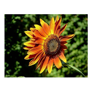 """Happiness in Orange""  Sunflower Postcard"