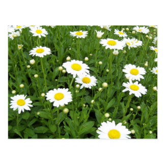 Happiness is a Field of Daisies Postcards