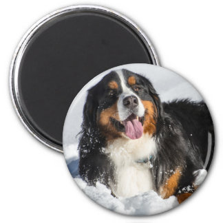 Happy Bernese Mountain Dog In Winter Snow Magnet