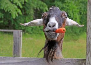 Happy Birthday Funny Goat Card