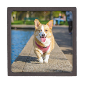 Happy Cute Blue and Brown eyed corgi panting Gift Box