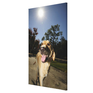 Happy dog running around exercising outdoors in canvas print