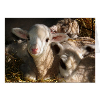 Happy Easter - Easter Lambs Card