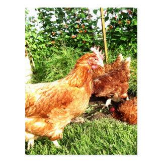 Happy Free range ex-battery chickens Postcard