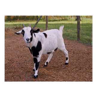 Happy Goat Poster