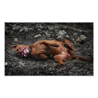 Happy Goofy Chocolate Lab Pit Mix Dog 2 Photo