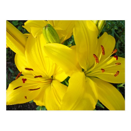 Happy Holidays! Yellow Lily Flowers postcards