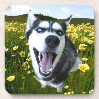 Happy Husky Coasters! Coaster