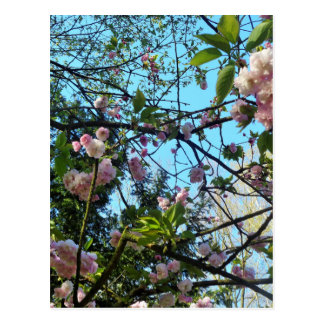 Happy Mother´s Day, Pink Cherry Blossom, Photo Postcard