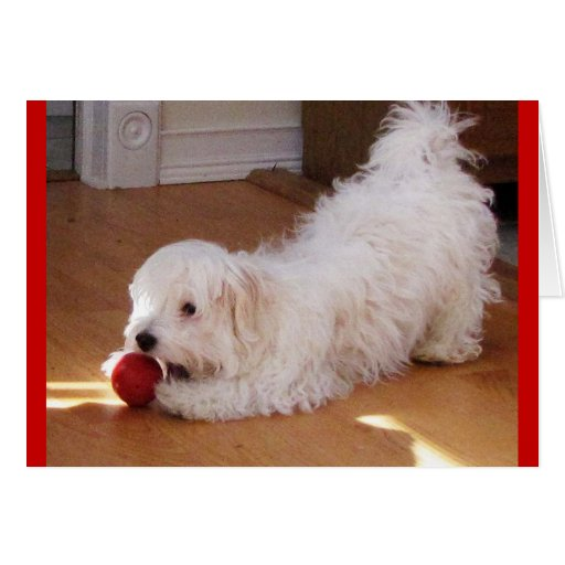 Happy Mother's Day - Havanese puppy Greeting Card