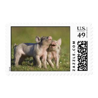 Happy Piggies Stamp