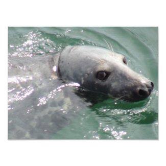 Happy Seal at Chatham Harbor Art Photo