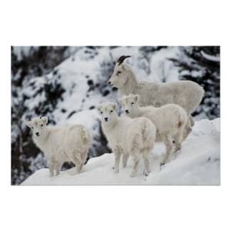 Happy Sheep Family Poster