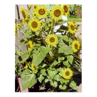 Happy Sunflowers Postcard