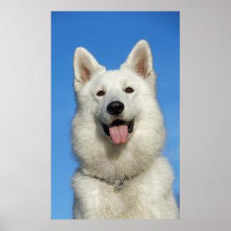 Happy Swiss Shepherd dog Poster