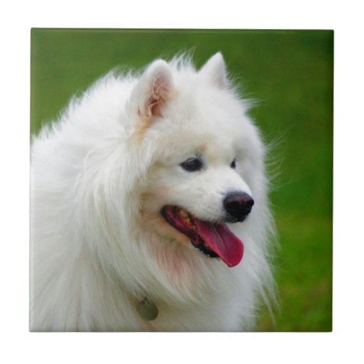Happy to see you dog samoyed canine pet small square tile