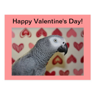 Happy Valentine's Day African Grey Parrot Postcard