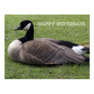 Hapy Bithday, wild duck  on grasses Postcard