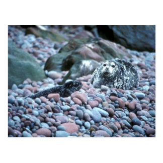Harbor seal and pup on Buldir Island Postcard