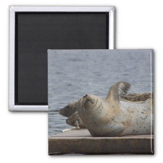 Harbor seal magnet