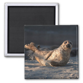 Harbor seal on beach magnet