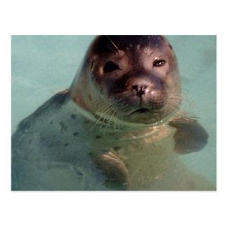 Harbor Seal Postcard