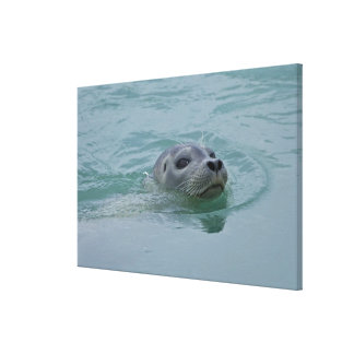 Harbor Seal swimming in Jokulsarlon glacial lake Canvas Print