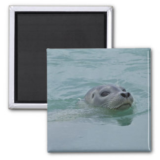 Harbor Seal swimming in Jokulsarlon glacial lake Magnet