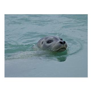 Harbor Seal swimming in Jokulsarlon glacial lake Postcard