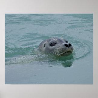 Harbor Seal swimming in Jokulsarlon glacial lake Poster