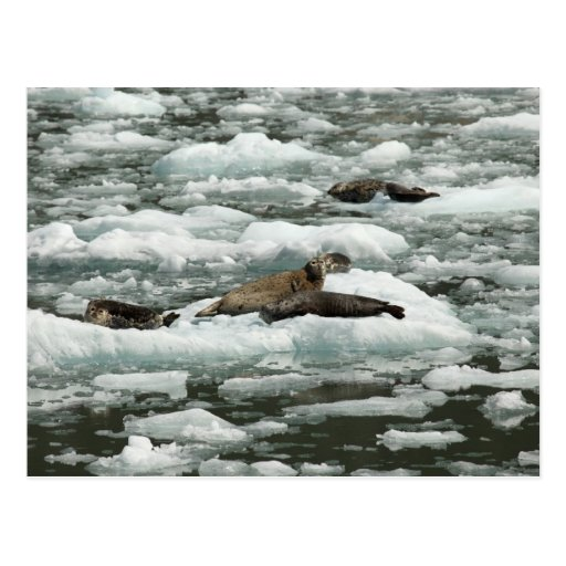 Harbor Seals Postcard