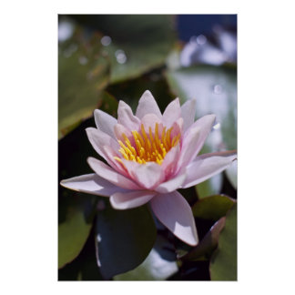 Hardy Water Lily Poster