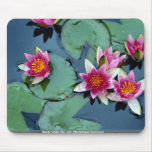 Hardy water lily, red, Nymphaea laydekeri Mousepad