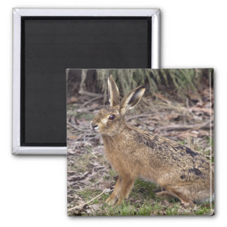 Hare Today, Gone Tomorrow Magnet