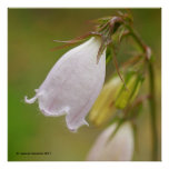 Harebell blanco posters
