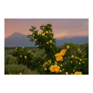 Harison's Yellow Rose against a Peach Colored Sky Poster