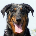 harlequin Beauceron Cutout