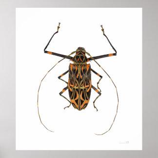 Harlequin Beetle Acrocinus Longimanus Poster