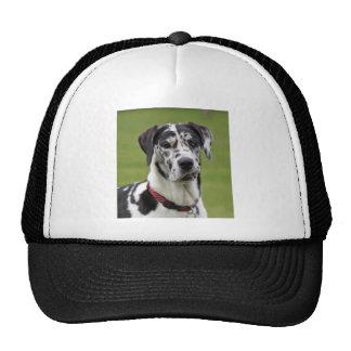 Harlequin del perro de great dane, foto hermosa, r gorra