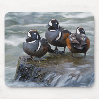 Harlequin Drakes Resting in fresh water rapids Mouse Pad