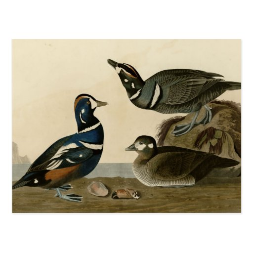 Harlequin Duck Post Cards